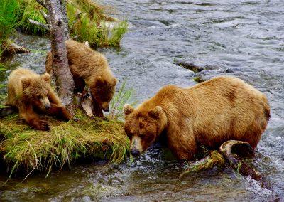 Bärenmutter mit Kunden am Brooks River