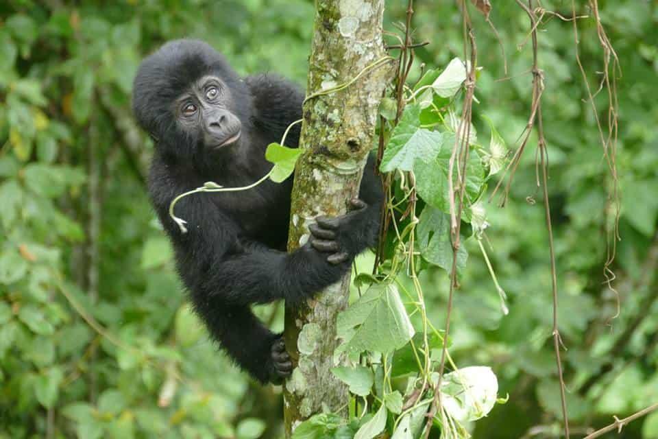 junger Gorilla Uganda/Ruanda