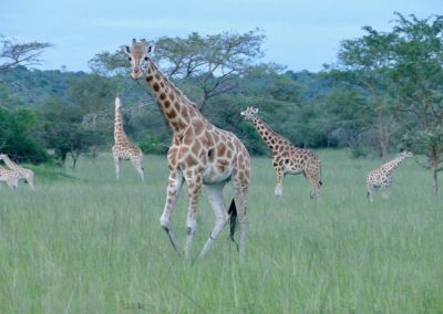 Rothschild Giraffen Lake Mburo