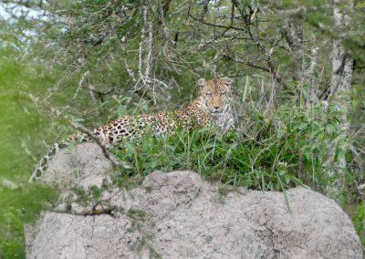 Leopard im Lake Mburo
